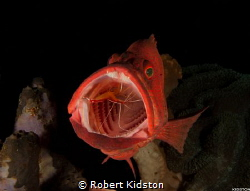 Cleaner Shrimp in Grouper